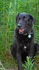 DSC00190-1 (leeaison) Tags: mountains dogs jack washington hiking labs granitefalls blacklabs labradorretrievers bigfouricecaves july2010