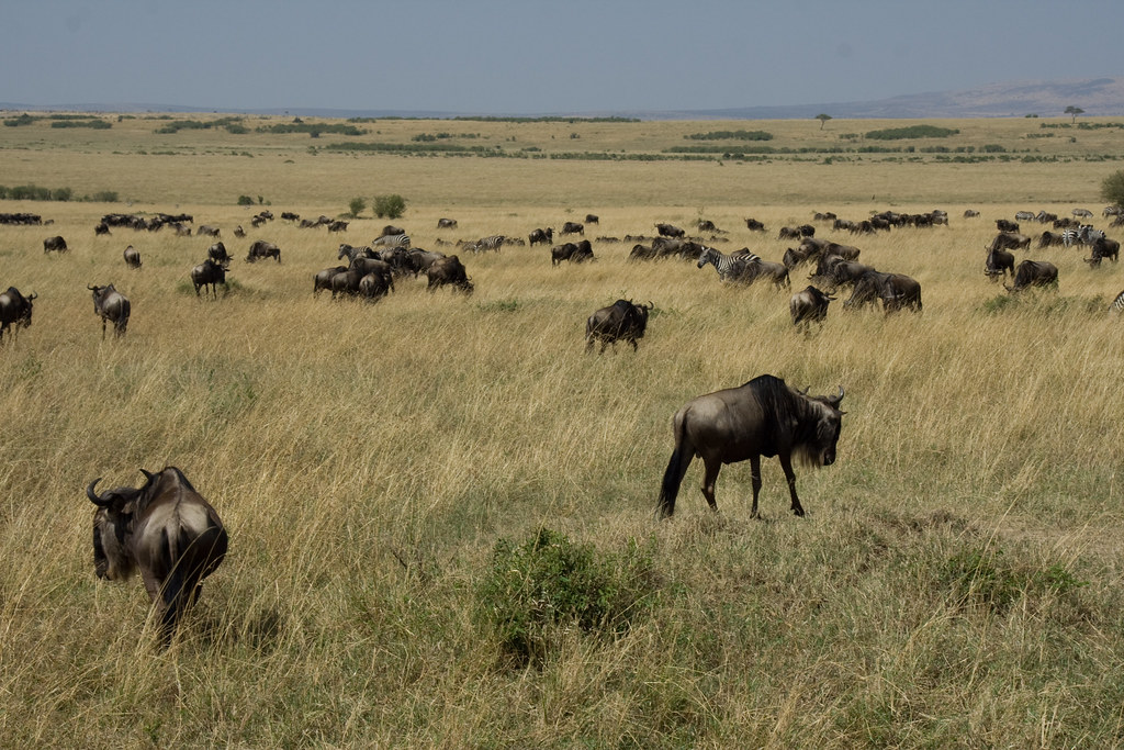 Western White-bearded Wildebeests - Maasai Mara, Kenya