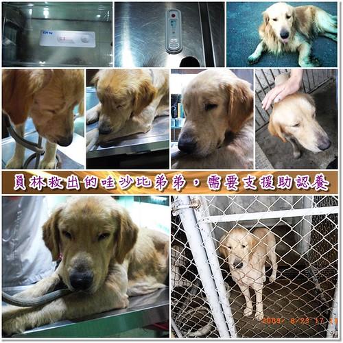 「需要支援助認養」從員林收容所救出的黃金獵犬哇沙比弟弟,目前基本健檢中了艾莉西體,懇請贊助醫療資源,也徵助認養喔~隨手幫忙轉PO也是非常重要~謝謝您!20100830