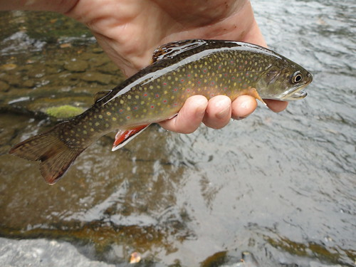Native Gunpowder River Brook Trout