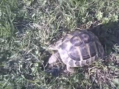 My Hermans tealeaf (FinnGB) Tags: cute reptile tortoise herman hermanns tealeaf