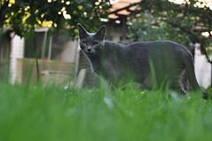 Cat I (Marigold.) Tags: green grass cat eyes gras katze grn augen schwarz