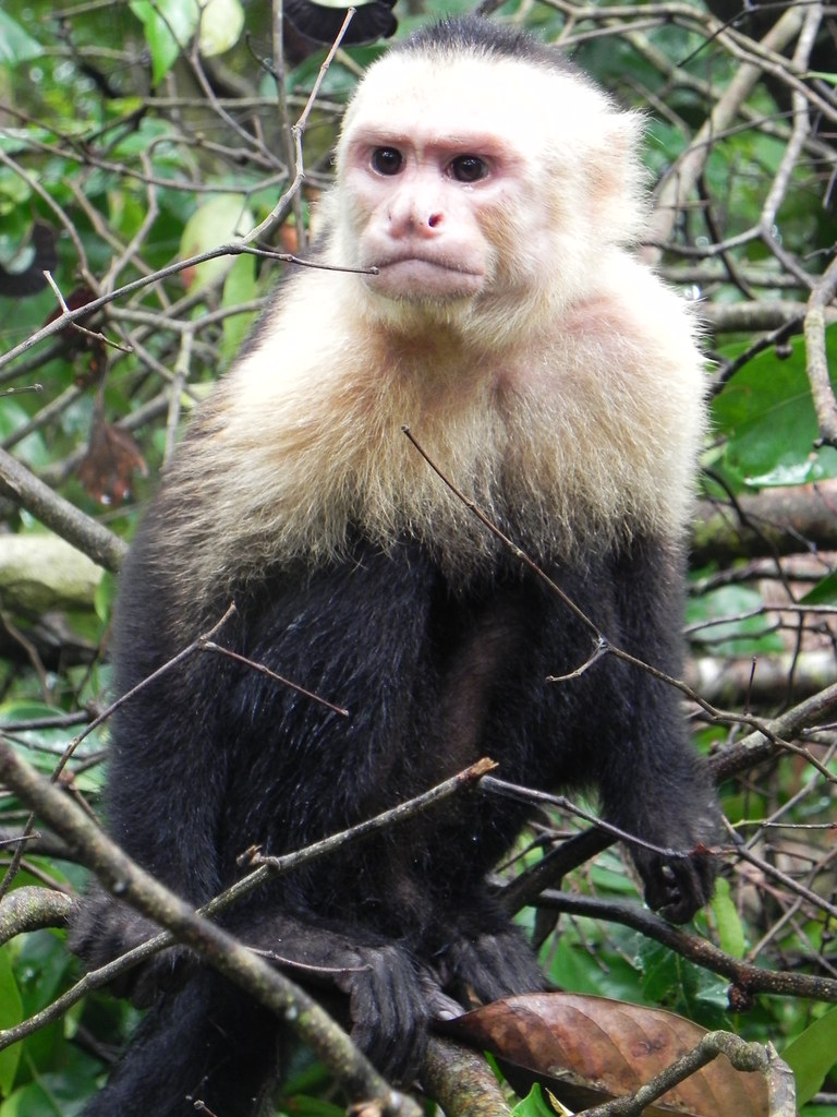 capuchin monkey research paper Home essays primate and new world monkeys primate and new world monkeys  through this paper,  by observing chimpanzees and the crested capuchin monkey.