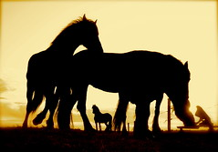 Field of opportunity (The Family Dog) Tags: sunset horses silhouette drinking