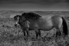 Exmoor Ponies-2 (PEJB) Tags: wild blackandwhite horse canon somerset 7d moors ponies beacon moorland exmoor dunkery 1585mm