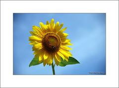El verano (osolev) Tags: summer flower verde fleur azul flor amarillo verano girasol ete petalos estio ltytr1 osolev