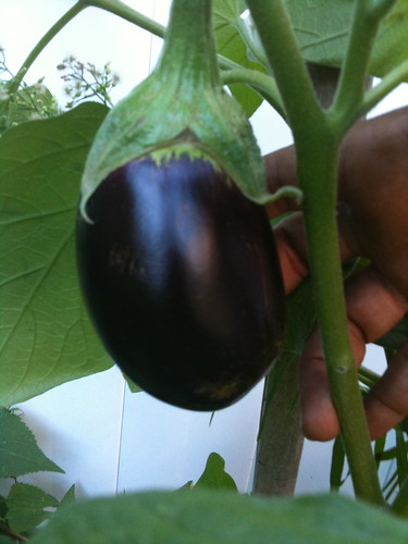 An eggplant on the vine