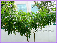 Solanum macranthum (Brazilian Potato Tree, Giant Potato Tree): two young shrubs/tree
