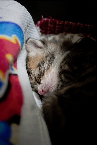 cute rescued tabby kitten napping