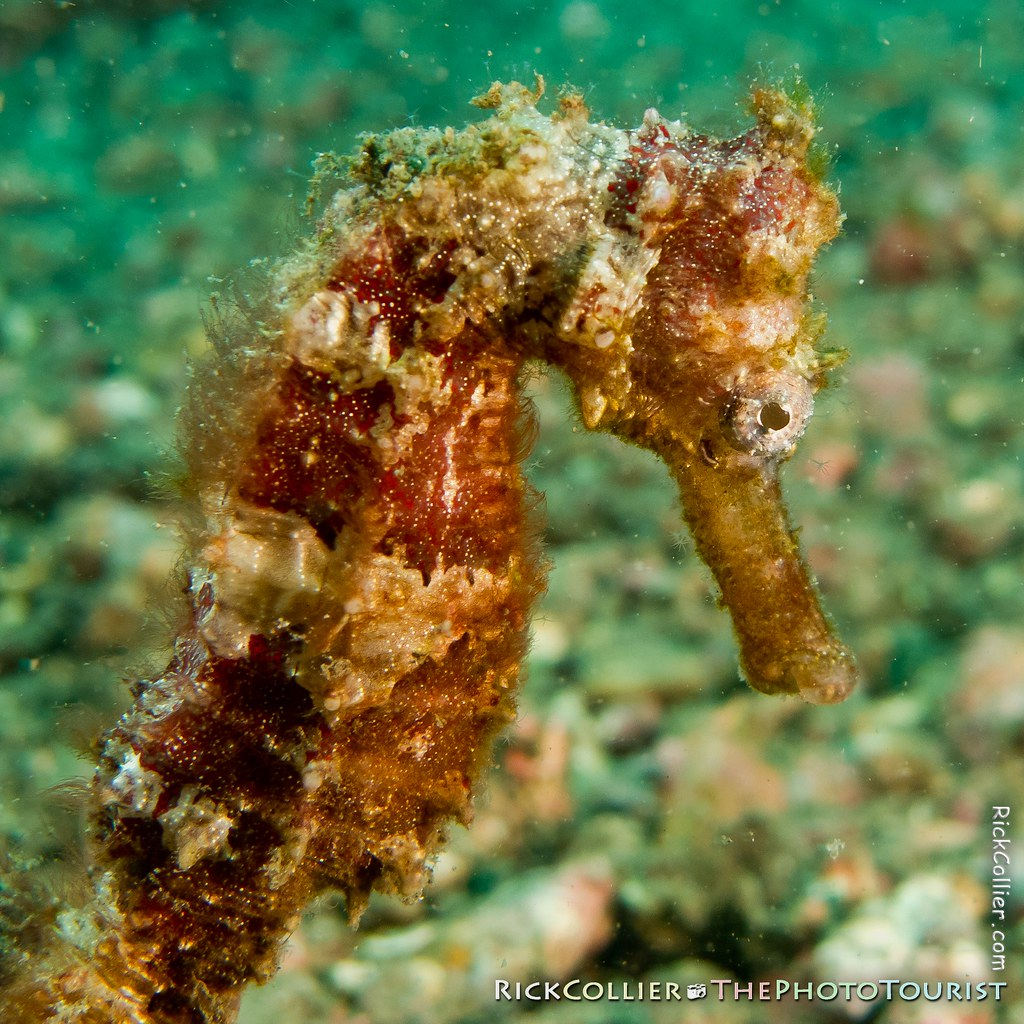 closeup of a red seahorse near the sand bottom in the Lembeh Strait
