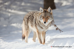Coyote in the snow (RichardDumoulin) Tags: coyote snow animal canon500f4 canon1dmk4