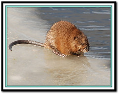 muskrat on ice (Joe Wicks) Tags: winter lake cute feet ice water weather animals swim fun rodent pond nikon midwest nebraska wildlife tail sigma gross freeze aquatic february muskrat grandisland d80 18250mm suckslake