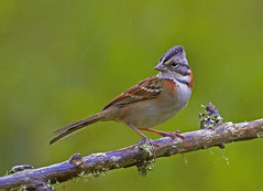 Tico-tico (Rufous-collared Sparrow) (Bertrando) Tags: nature birds wildlife natureza aves birdwatching pssaros ticotico rufouscollaredsparrow zonotrichiacapensis colorphotoaward 10nw allnaturesparadise 5wonderwall