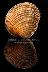 Venus verrucosa (josepmpenalver) Tags: ocean sea macro beauty marine venus close decoration shell clam shore single seashell isolated saltwater conch mollusk bivalve cockle verrucosa