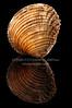 Venus verrucosa (josepmpenalver) Tags: ocean sea macro beauty marine venus close decoration shell clam shore single seashell isolated saltwater conch mollusk bivalve cockle verrucosa
