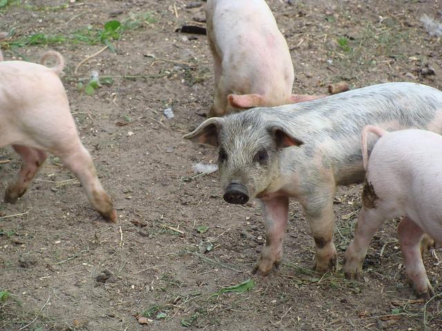 Piglets in Ojdula