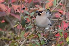HNS_0940 Pestvogel : Jaseur boreal : Bombycilla garrulus : Seidenschwanz : Bohemian Waxwing