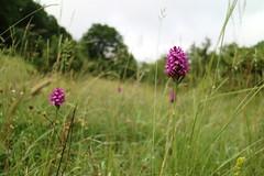 Orchideen (shortscale) Tags: orchidee schwäbischealb