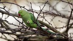 a rose ringed parakeet in a tree (2) (Franck Zumella) Tags: bird oiseau parakeet perruche perroquet vert collier ringed rose tree arbre eat eating manger