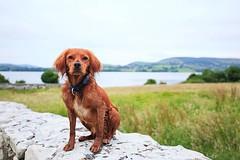 Exploring the great lakes of Ireland! • • • • • #campingwithdogs #hikingwithdogs #dogsonadventures #dogsthathike #adventuredog #thestatelyhound #houndandlife #backcountrypaws #doglove #hikingdogsofinstagram #excellent_dogs #adventureswithdogs #topdogphoto (watson_the_adventure_dog) Tags: exploring great lakes ireland • campingwithdogs hikingwithdogs dogsonadventures dogsthathike adventuredog thestatelyhound houndandlife backcountrypaws doglove hikingdogsofinstagram excellentdogs adventureswithdogs topdogphoto heelergram hikingdog animaladdicts traildog bestwoof campingcollective visualsgang wanderireland instaireland inspireland irishpassion irelandgram campingculture stayandwander