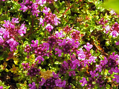 Thyme (Cornishcarolin. Problems posting thanks xxx) Tags: cornwall penryn nature flowers herbs plants thyme