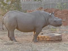 P1140595 Zimbabwe (37) (archaeologist_d) Tags: zimbabwe zambezinationalpark wildlife blackrhinoceros rhinoceros africa southernafrica safari