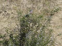 P1150130 Zimbabwe (22) (archaeologist_d) Tags: zimbabwe stanleylivingstonesafarilodge lilacbreastedroller birdwatching africa southernafrica safari