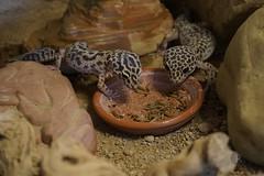 20170626X1932_Leopardgecko_0040 (RascheBilder) Tags: leopardgecko raschebilder