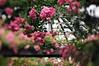 {EXPLORE} der Rosendom III (Frau Koriander) Tags: park parkrosenhöhe rosenhöhe darmstadt deutschland germany hessen nikond300s lensbaby lensbabycomposerpro lensbabycomposerproedge80 lensbabyedge80 edge80 80mm rosen roses hbw happybokehwednesday bokeh bokehwednesday dof pergola tilt tiltshift nature natur flowers flower rosarium rheinmaingebiet südhessen rosenblüte rose rosarosen rosé pinkroses äste zweige rosenzweig rosendom roterosen historisch urban historical parc blumen historischerpark naherholungsgebiet landschaftsgarten hessendarmstadt grosherzogernstludwig flora stadtansichten stadtansicht kuppel bewachsen gartenhaus gartenhäuschen gartenarchitektur parks gärten garten garden kletterrosen kletterpflanzen bewuchs oasemitteninderstadt botanischergarten landschaftgarten outdoor blume explore explored rosegarden rosengarten