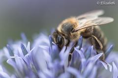 Busy bee! (elizabetheastphotos) Tags: bee flower macro purple