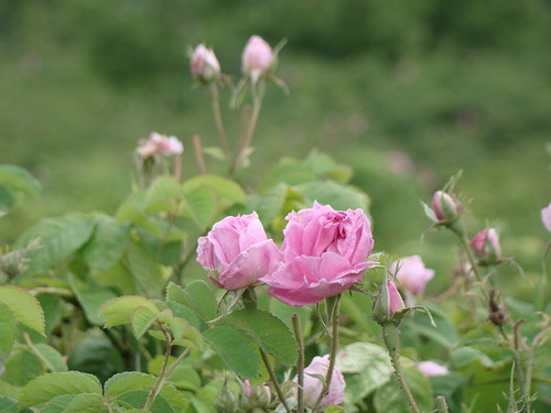 Rose gathering