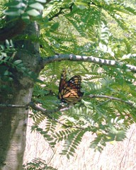 viceroy butterfly on a tree