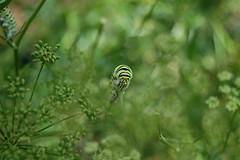 Swallowtail Caterpillars
