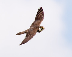 Hobby (Andrew Haynes Wildlife Images ( away for a while )) Tags: bird nature wildlife flight hobby raptor coventry warwickshire brandonmarsh canon7d ajh2008 birdguidesnotable