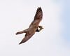 Hobby (Andrew H Wildlife Images) Tags: bird nature wildlife flight hobby raptor coventry warwickshire brandonmarsh canon7d ajh2008 birdguidesnotable