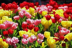 Tulipas - NYC (Richard E. Ducker) Tags: park new york city flower primavera apple nova spring big tulips central tulipa iorque platinumpeaceaward