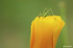 Mini quilibriste (fabdebaz) Tags: orange macro fleur juin mini t 31 bazige insecte sauterelle 2010 aficionados quilibre sudouest hautegaronne lauragais k10d pentaxk10d justpentax collectionnerlevivantautrement baziege