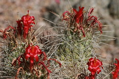 Christmas ribbons (quinn.anya) Tags: red arizona cactus flower ribbon spines spikes desertbotanicalgarden
