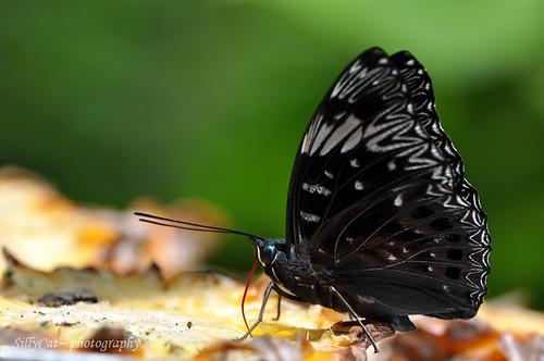 Dichorragia nesimachus deiokes-電蛺蝶