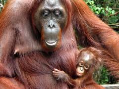 Female with Baby Orangutan in Tanjung Puting National Park