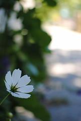 Lone Cosmos (Sally E J Hunter) Tags: white toronto flower laneway ruelle cosmos cosmosbipinnatus moo1 35mmf18