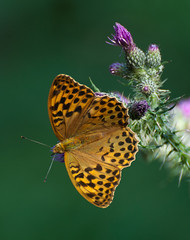 silver-washed fritillary (female) (sure2talk) Tags: butterfly explore tp argynnispaphia silverwashedfritillary nikond60 beautifulworldchallenges thepinnaclehof thepinnacleopen tphofweek69 lightwriterscc