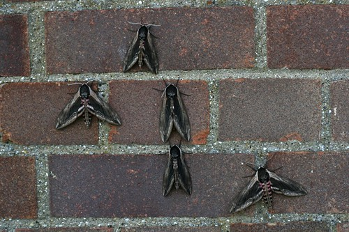 Privet Hawkmoths