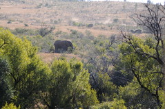 DSC_7717 (kcadpchair) Tags: elephant southafrica jackal safari leopard rhino zebra crocodile giraffe impala gnu grayheron springbok fisheagle guineafowl gamereserve waterbuck whiterhino gemsbok whitebreastedcormorant crimsonbreastedshrike
