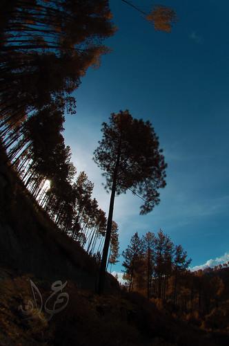 Deretan Pinus @ Bakkara (Bakara)