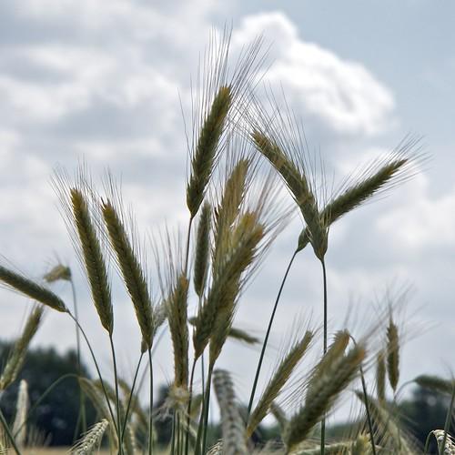 Jesteburg - Wheat