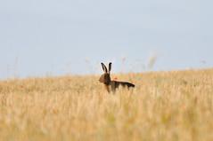 Livre (symphalangus) Tags: livre mammifre champs plaine campagne chaume matin aube rabbit nikon d300s nikkor 70200mmf28 tlconverteur