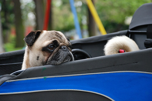 the pug in the bug
