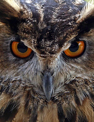 You are feeling sleepy (Mr Grimesdale) Tags: mr steve owl wallace birdsofprey eagleowl olympuse510 grimesdale