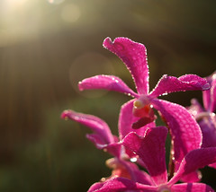 Morning Magic (Zaqqy J.) Tags: pink hot orchids mandaiorchidgarden upperseletar naturalsunrays bokehly arandakooichoo